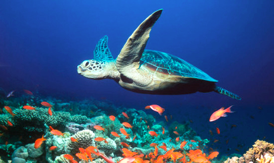 The Sea Turtles of the Ostional Wildlife Reserve