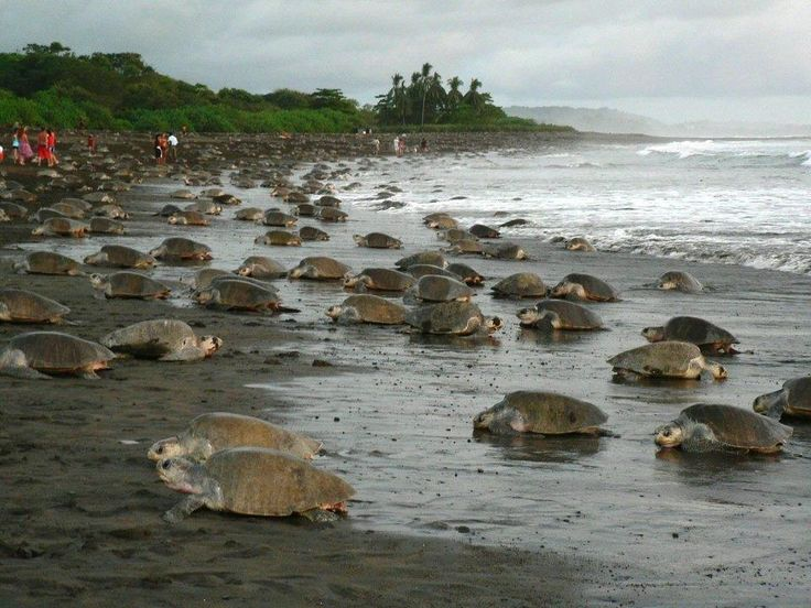 Sea turtles offer a unique and natural spectacle in Costa Rican shores