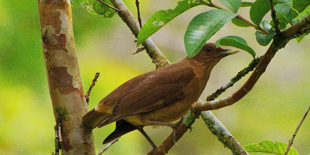 Costa Rica's Iconic Bird El Yigüirro