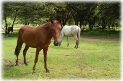 Tamarindo Guanacaste, Tamarindo real estate, Equine estate, horse ranch, horse breeding, gated community, Tamarindo Beach properties